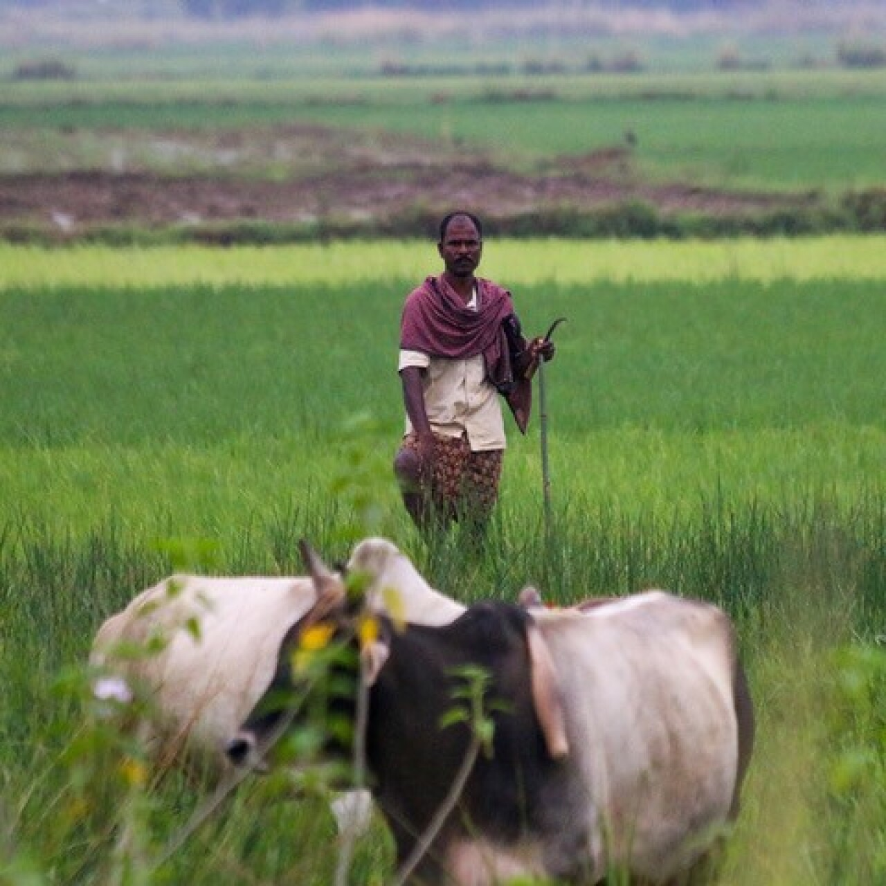 A man standing in a field holding a walking stick with grass up to his waist. Two cows in the foreground are grazing. The background is all grass fields and farmland.